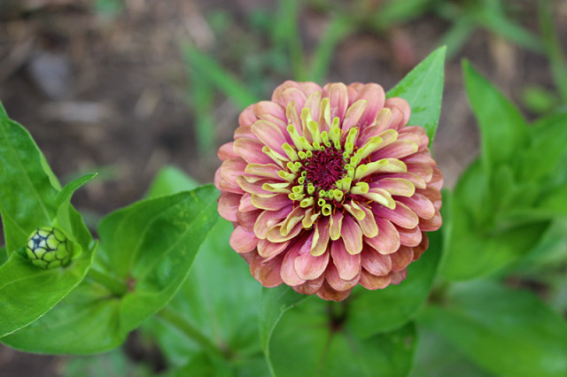 queen-red-lime-zinnia