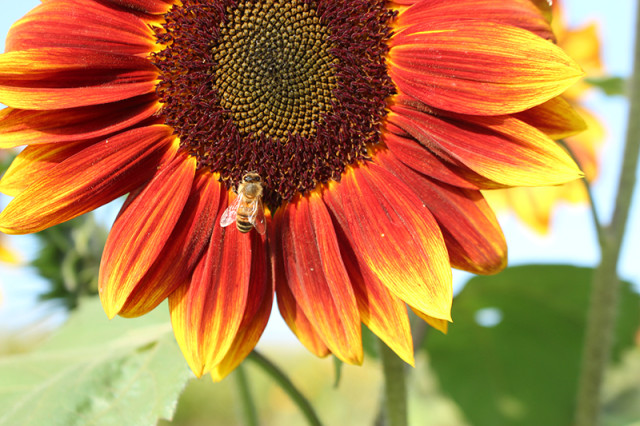autumn-beauty-sunflower-bee