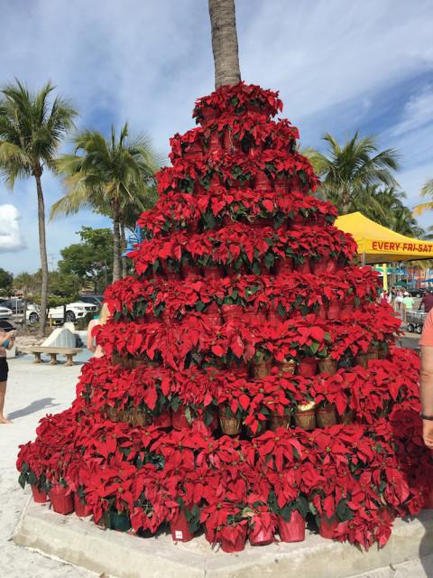 poinsetta-palm-tree