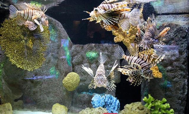 mote-lion-fish-tank