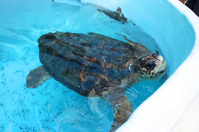mote-sea-turtle