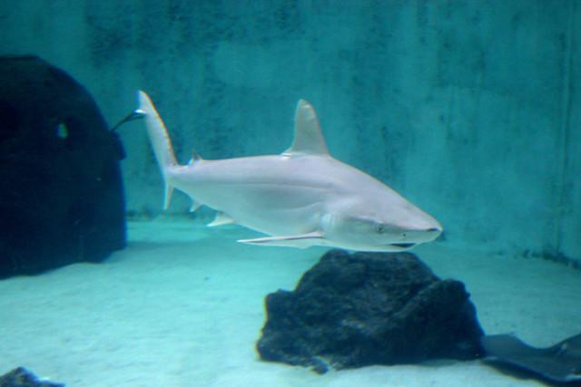 mote-shark
