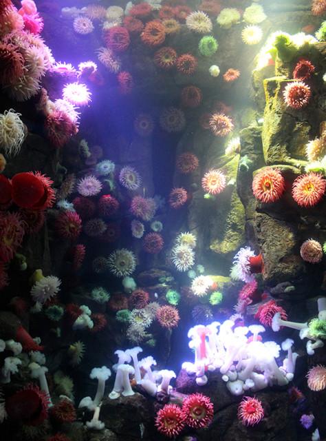 ripleys-aquarium-toronto-anemones