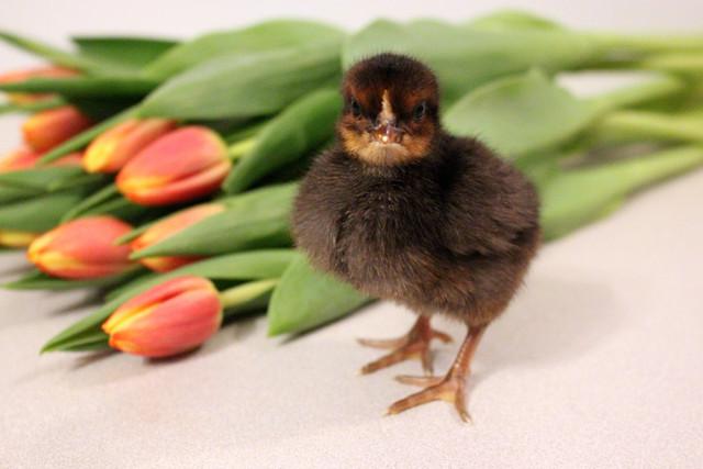 black-chick-closeup