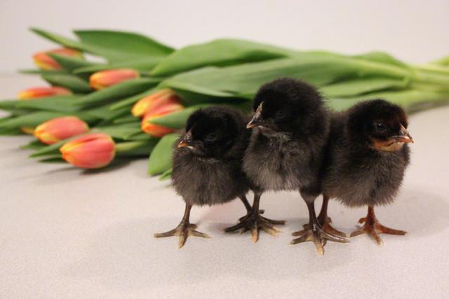 black-chicks-trio