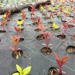 celosia-seedlings-field