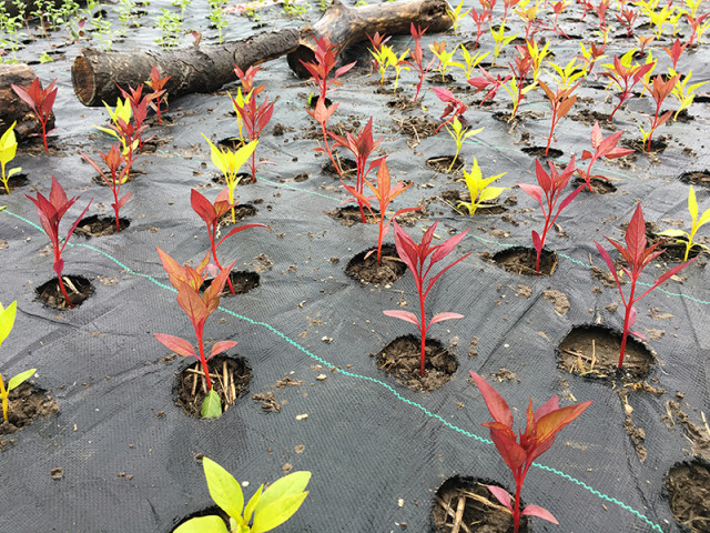 celosia-seedlings-field