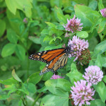 monarch-red-clover