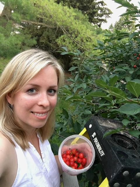 picking-sour-cherries