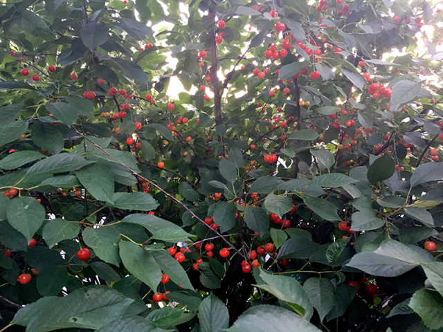 sour-cherry-tree