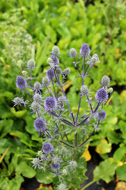 blue-sea-holly-thistle