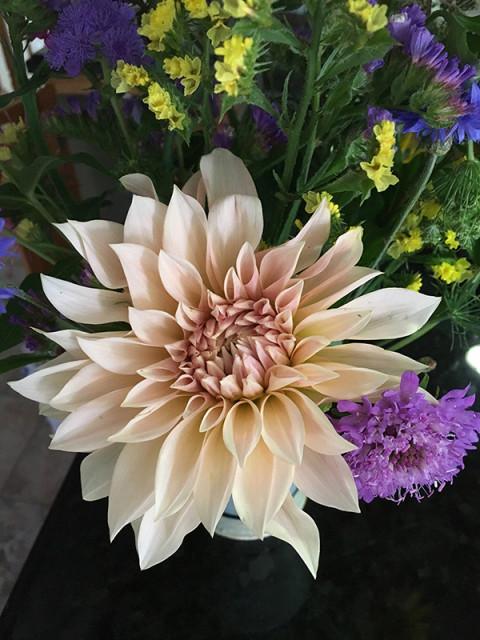 caf_dahlia-cloverhillflowers