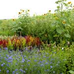 cloverhill-flower-field-august2017