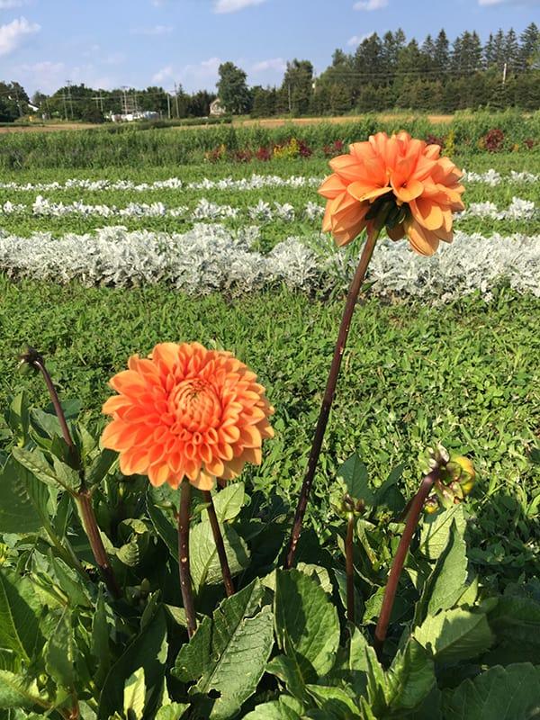 la-primavera-orange-dahlias