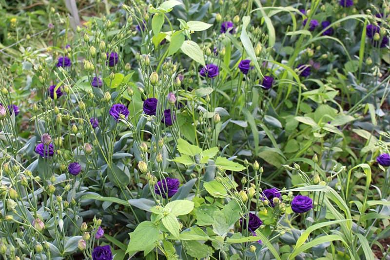 la-primavera-purple-lisianthus