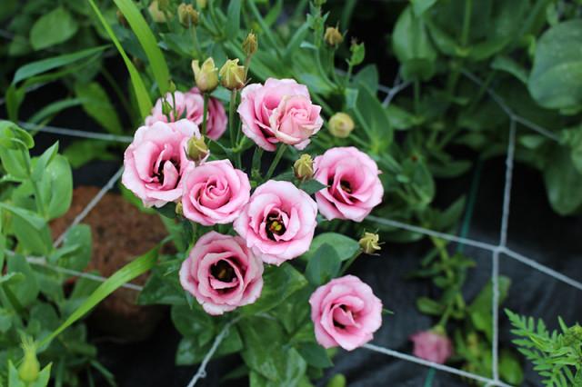 open-pink-lisianthus