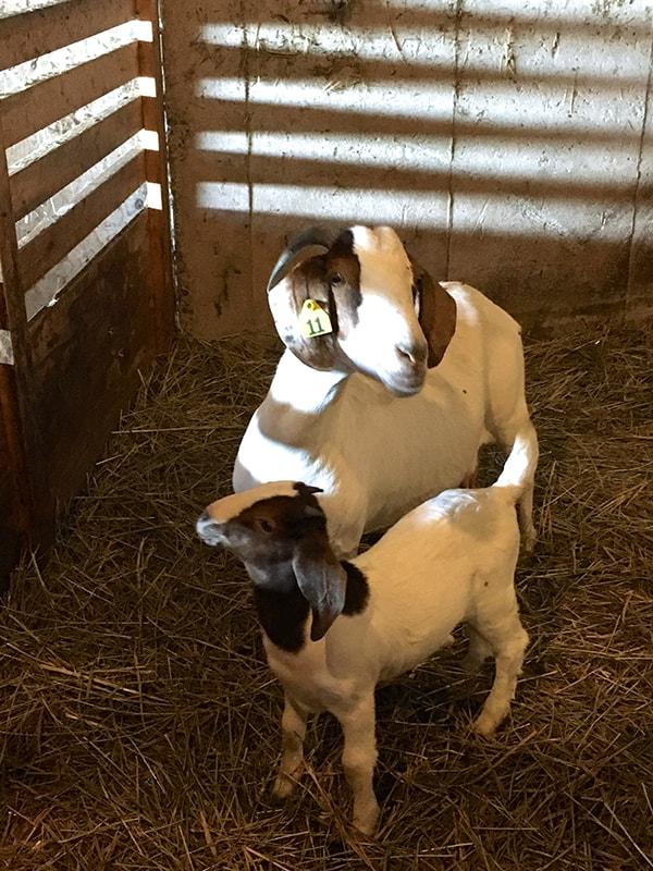 wendalane-farm-baby-goat