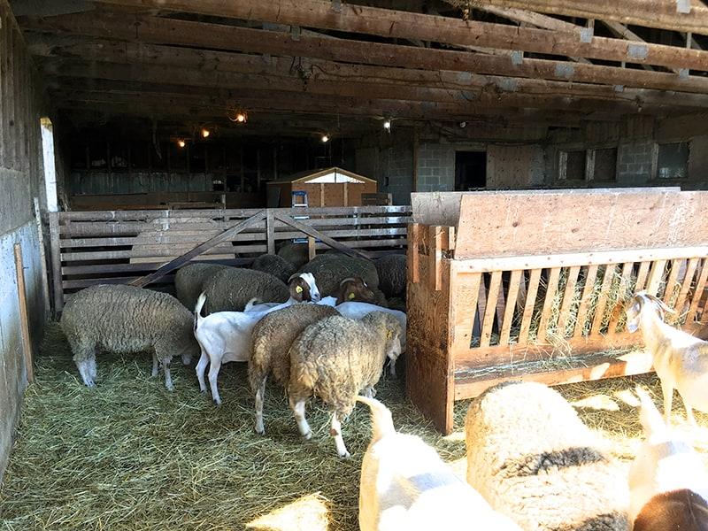 wendalane-farm-sheep-goats