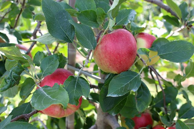 chudleighs_sunrise-early-apples