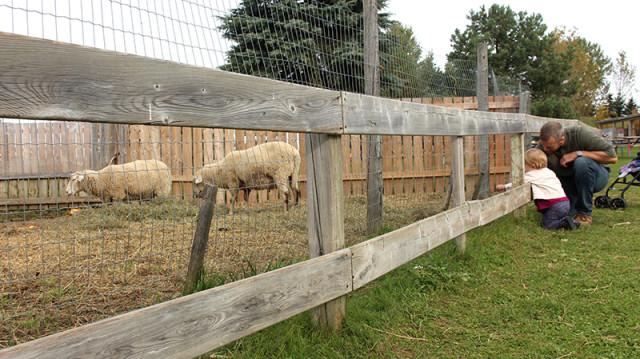 brooks-farm-sheep