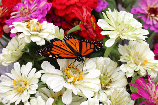 monarch-butterfly-flower-stand-white-zinnias