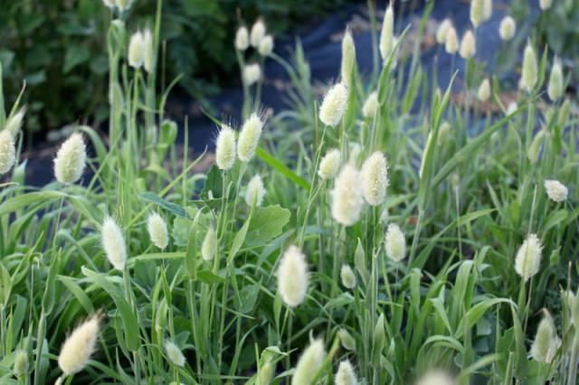 cloverhill-flower-field-2018-bunny-tails