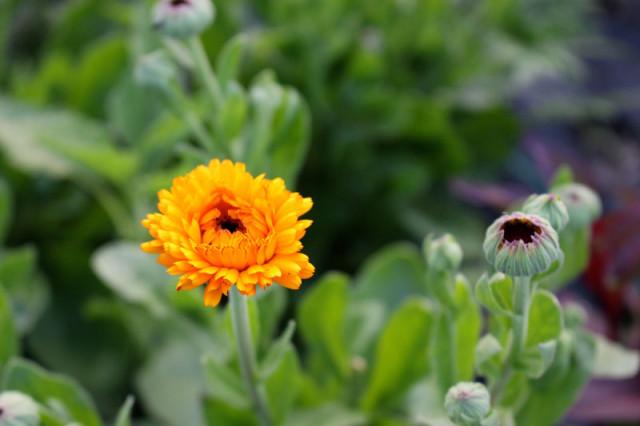 cloverhill-flower-field-2018-calendula