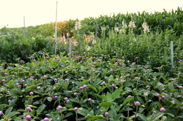 cloverhill-flower-field-2018-gomphrena