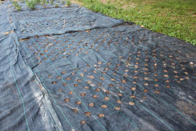 cloverhill-flower-field-2018-tarp-holes
